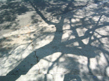 jacaranda tree shadows